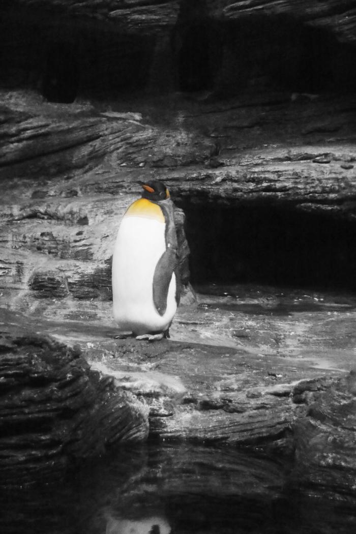 Königspinguin im Zoo, Antwerpen - Color-Key #fotoprojekt17 - diephotographin