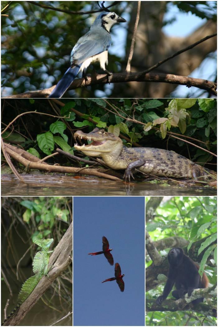 Blaue Elster, Kaiman, Stirnlappen Basilisk, große rote Aras und ein Brüllaffe in Costa Rica 2009/2010 - diephotographin