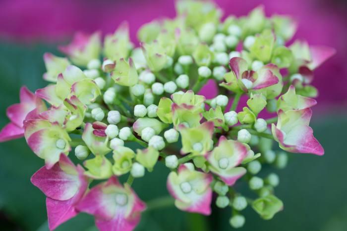 Hortensie - Makro Garten Fotografie - diephotographin