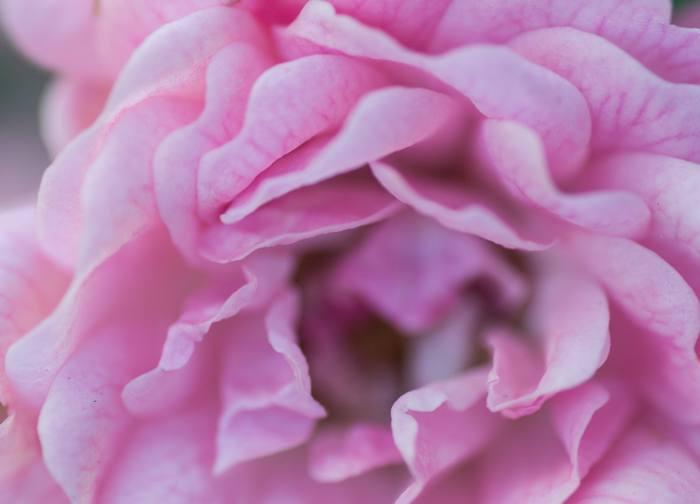 Rose - Makro Garten Fotografie - diephotographin
