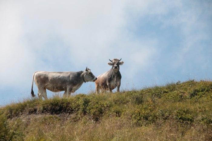Kühe auf dem Schatzberg - Wildschönau, Österreich - Sommer in den Bergen - diephotographin