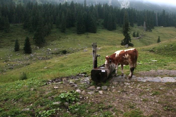 Kuh an der Tränke auf der Sommeralm im Nebel - Sommer in den Bergen in Bayern - Increase Creativity