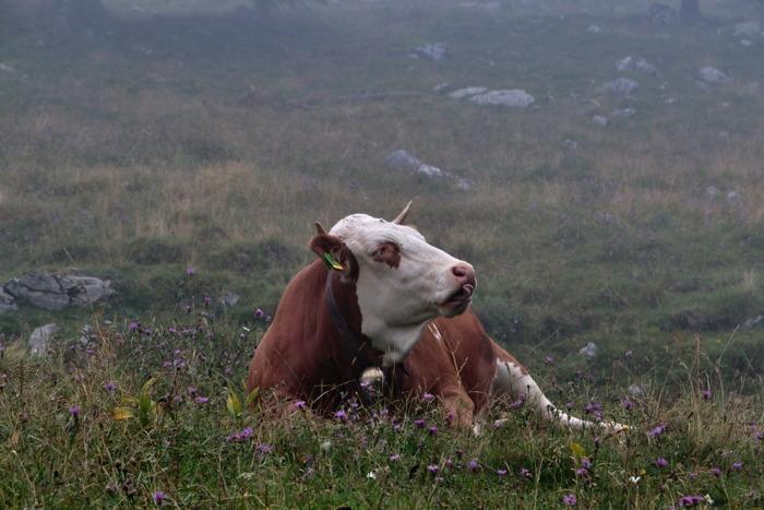 Kuh auf der Sommeralm im Nebel - Sommer in den Bergen in Bayern - Increase Creativity