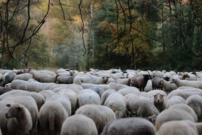 Schafherde im herbstlichen Wald in Wiesbaden
