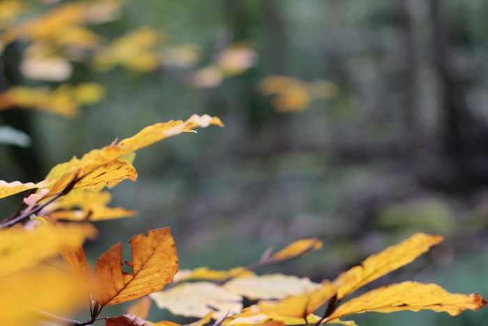 Blätter in Herbstfarben im Wald bei Wiesbaden